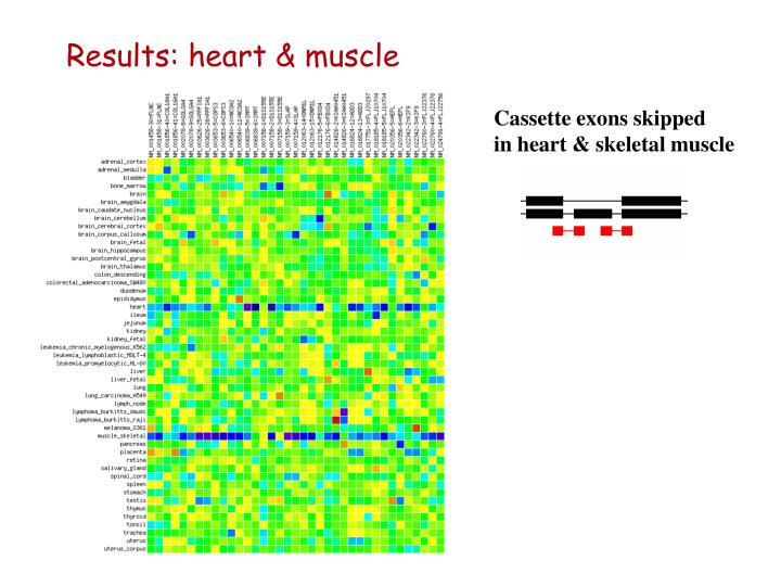 Results: heart & muscle