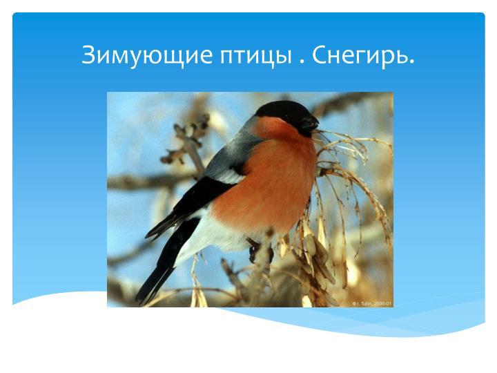 Зимующие птицы . Снегирь.