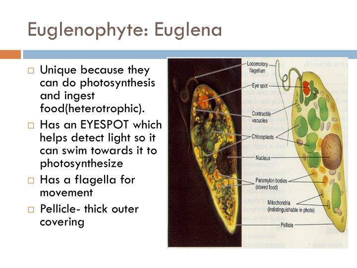 Euglenophyte