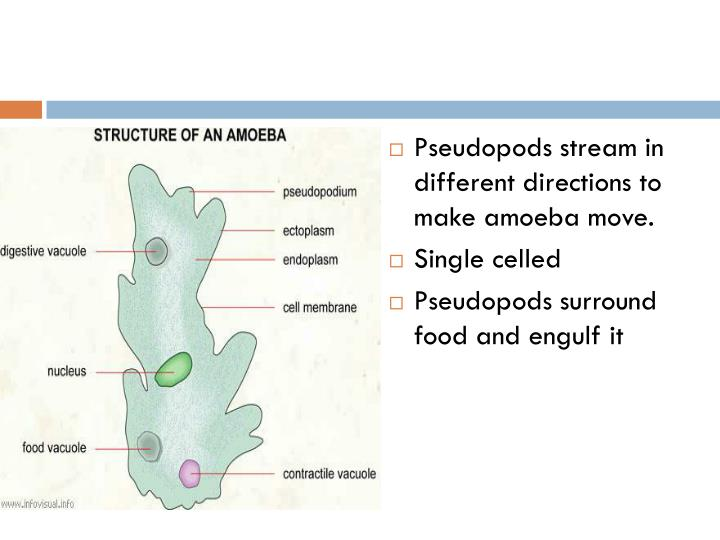 Pseudopods stream in different directions to make amoeba move.