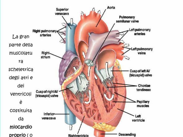 La gran parte della muscolatura scheletrica degli atri e dei ventricoli è  costituita da
