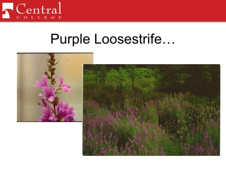Purple Loosestrife…