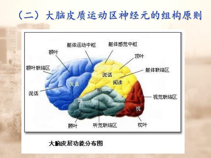 (二)大脑皮质运动区神经元的组构原则