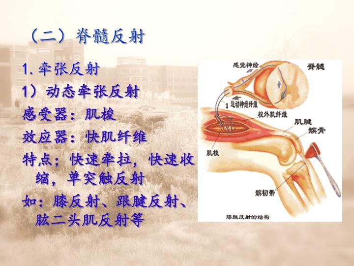 (二)脊髓反射