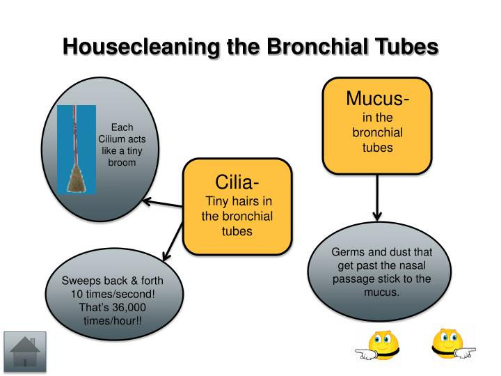 Housecleaning the Bronchial Tubes