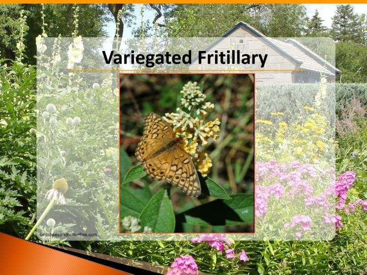 Variegated Fritillary