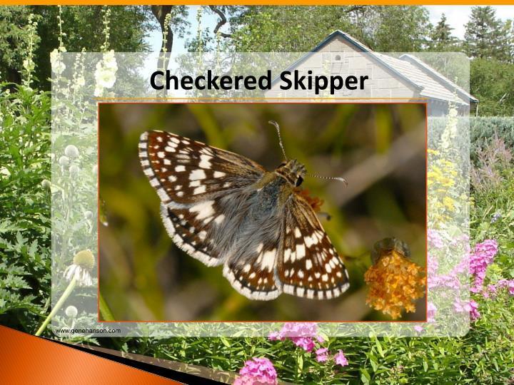 Checkered Skipper