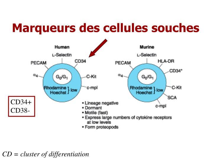 Marqueurs des cellules souches
