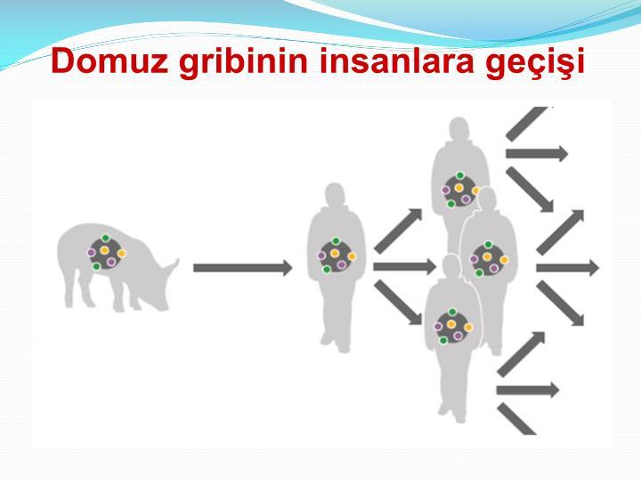 Domuz gribinin insanlara geçişi