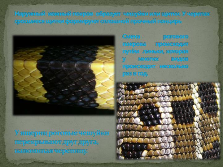 Наружный  кожный покров  образует  чешуйки или щитки. У черепах сросшиеся щитки формируют сплошной прочный панцирь
