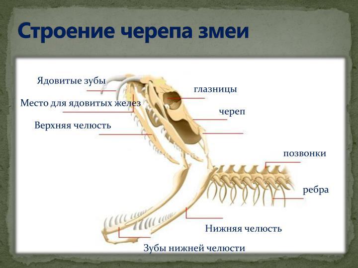 Строение черепа змеи