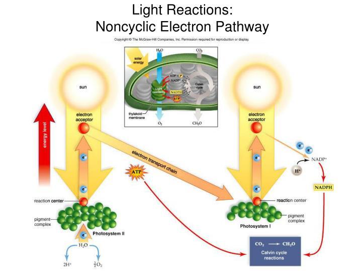 Light Reactions: