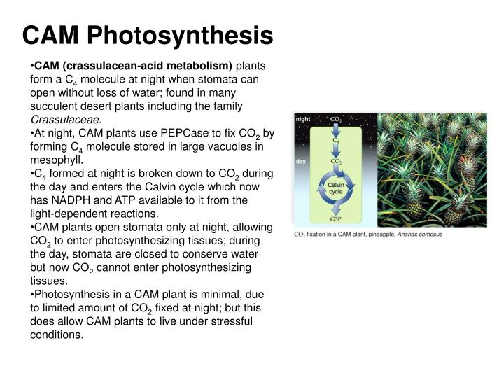 CAM Photosynthesis