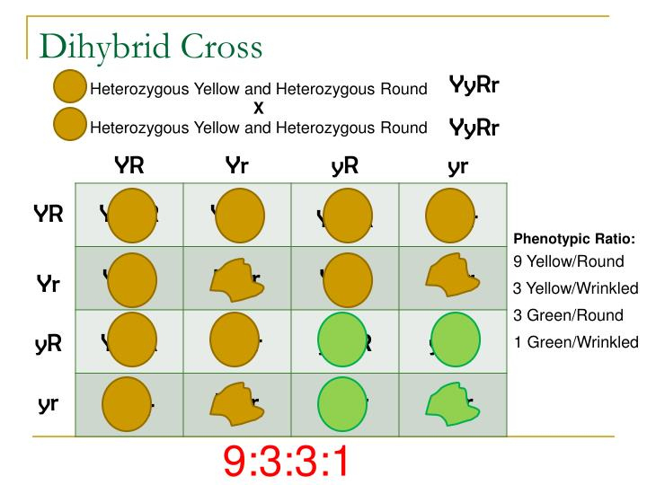 Dihybrid Cross Phenotype Ratios Pictures to Pin on ...