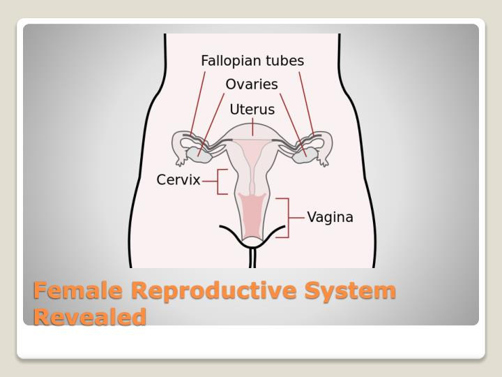 Female Reproductive System Revealed
