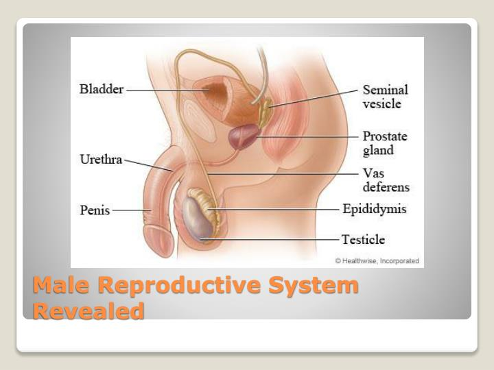 Male Reproductive System Revealed