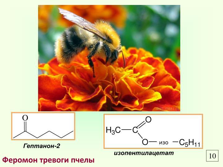 Феромон тревоги пчелы