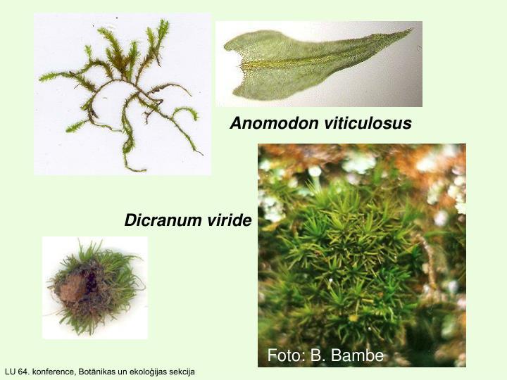 Anomodon viticulosus
