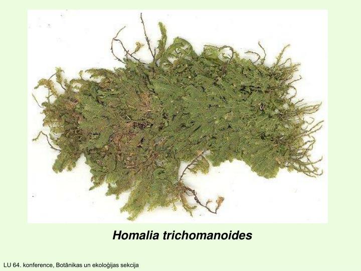 Homalia trichomanoides