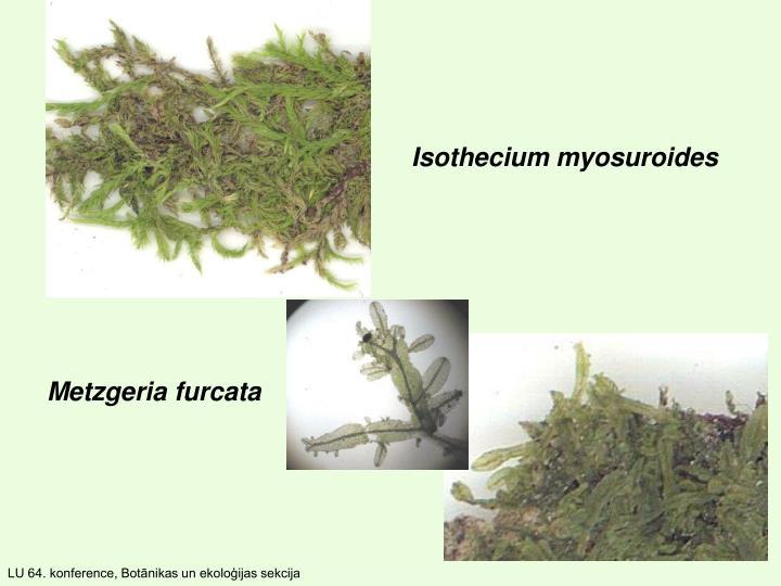 Isothecium myosuroides