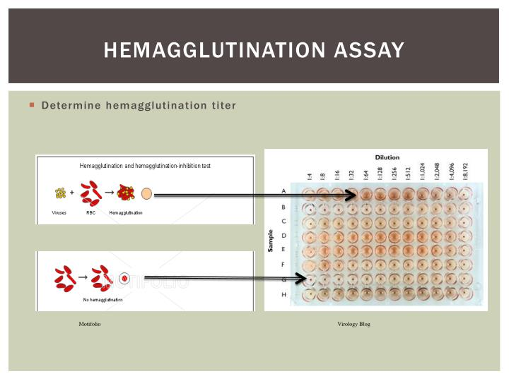 Hemagglutination Assay