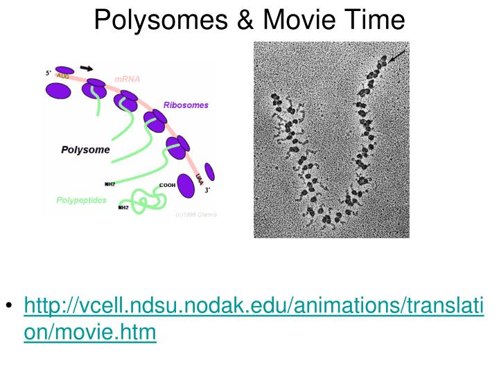 Polysomes & Movie Time