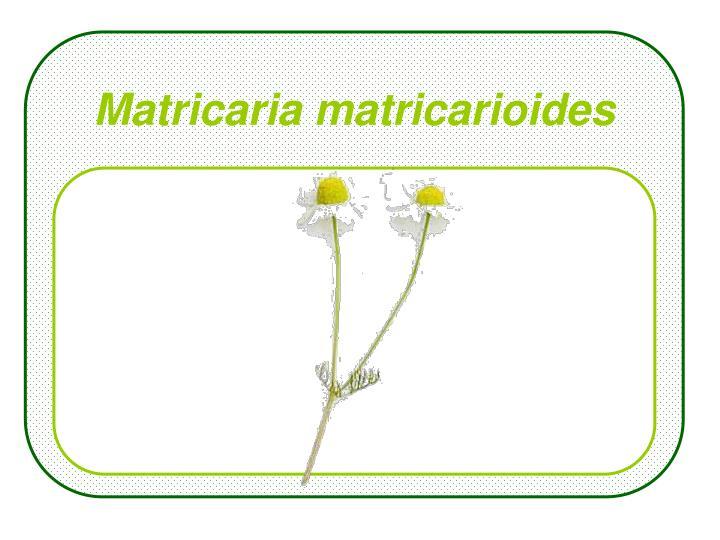 Matricaria matricarioides
