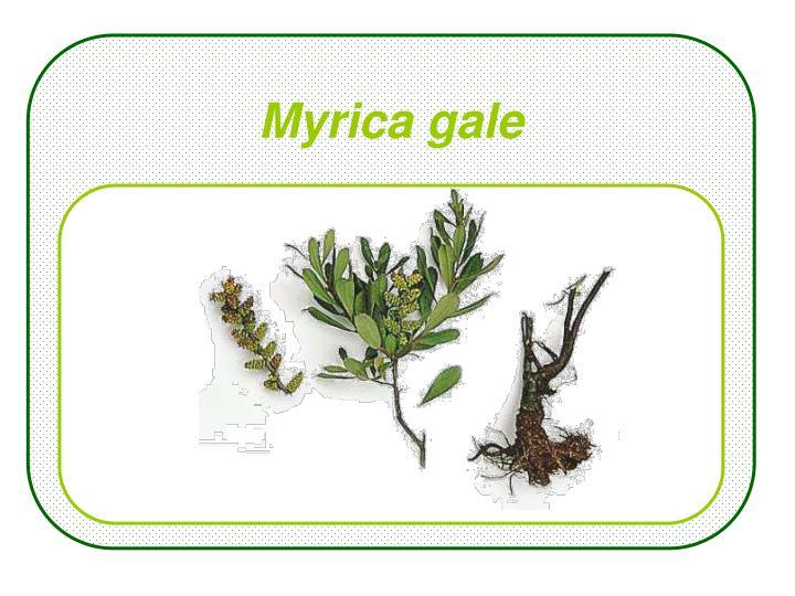 Myrica gale