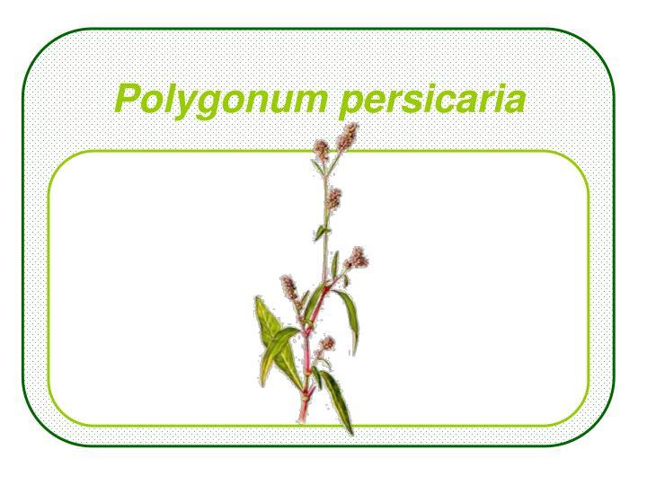 Polygonum persicaria