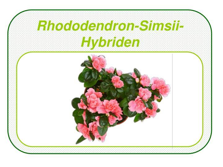 Rhododendron-Simsii-Hybriden
