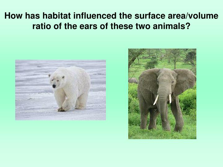 How has habitat influenced the surface area/volume ratio of the ears of these two animals?
