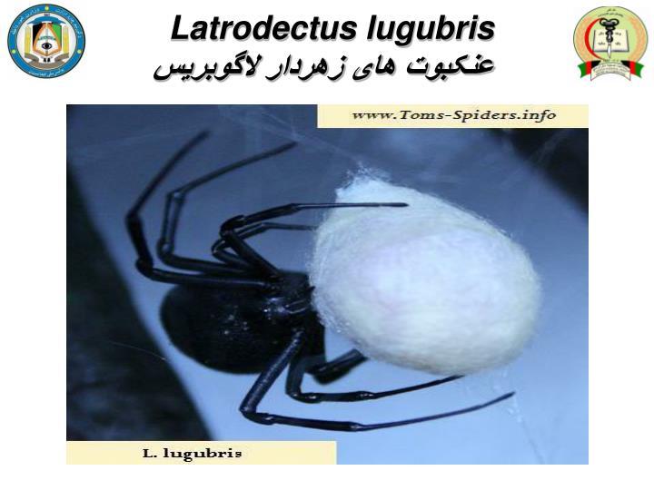 Latrodectus lugubris