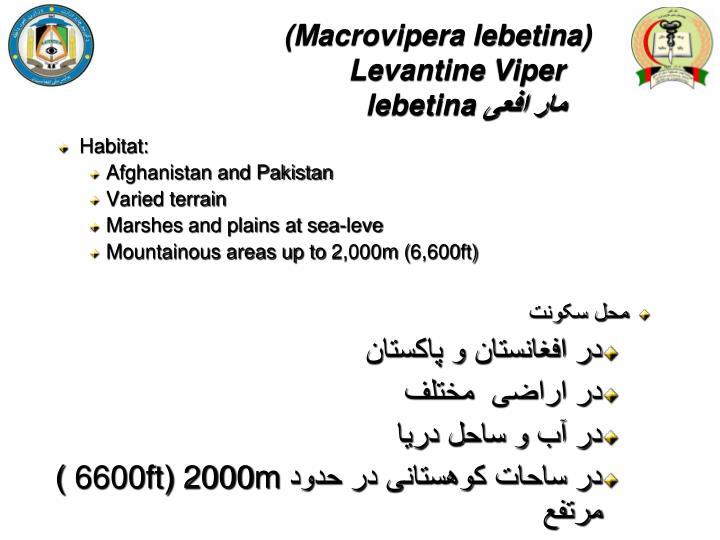 (Macrovipera lebetina)