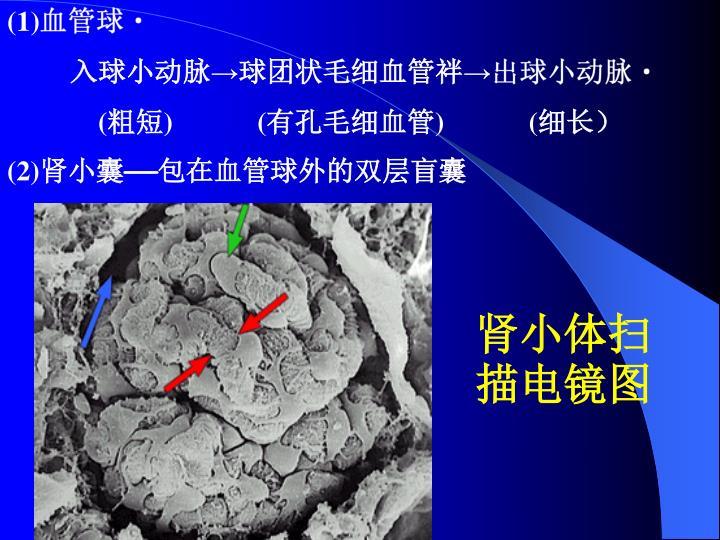 (1)血管球