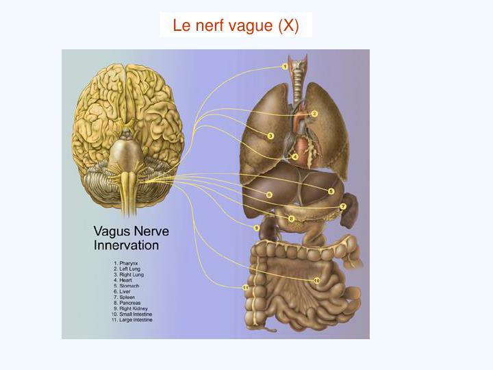 Le nerf vague (X)