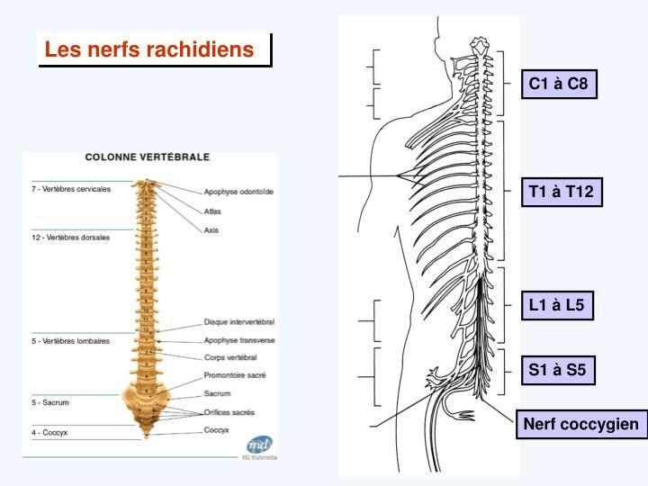Les nerfs rachidiens