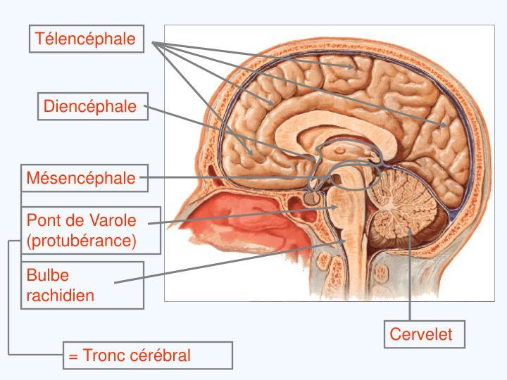 Mésencéphale