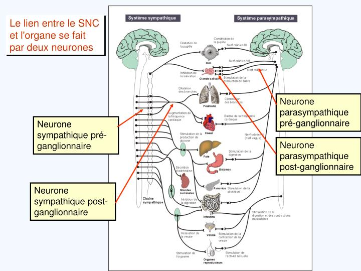 Le lien entre le SNC et l'organe se fait par deux neurones