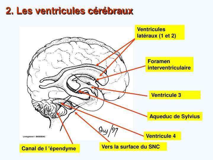 Ventricules latéraux (1 et 2)
