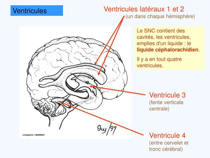 Ventricules latéraux 1 et 2