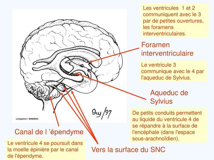 Les ventricules  1 et 2 communiquent avec le 3 par de petites ouvertures, les foramens interventriculaires.
