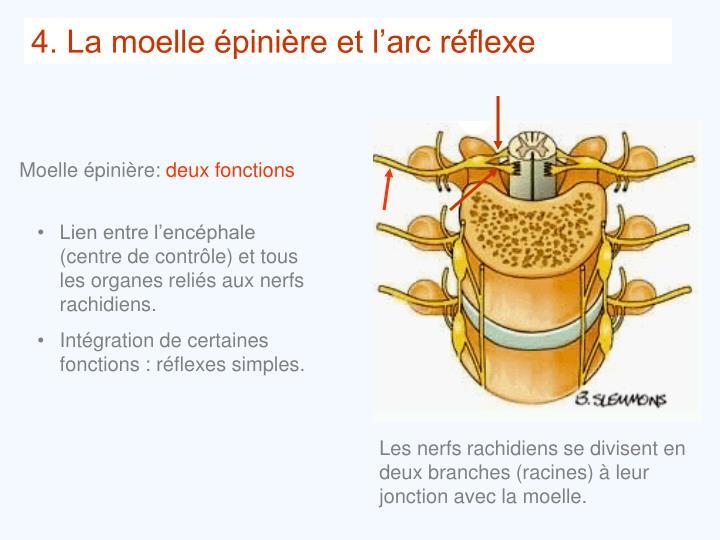 Les nerfs rachidiens se divisent en deux branches (racines) à leur jonction avec la moelle.