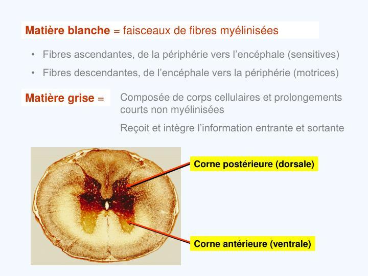 Corne postérieure (dorsale)