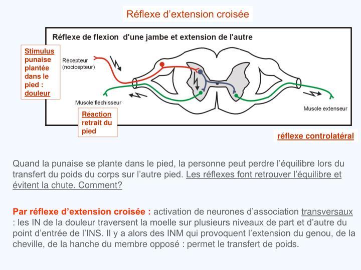 Réflexe d'extension croisée