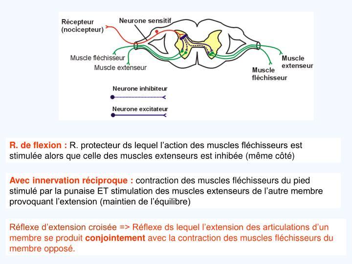 R. de flexion :