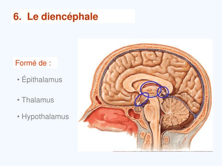 6.  Le diencéphale