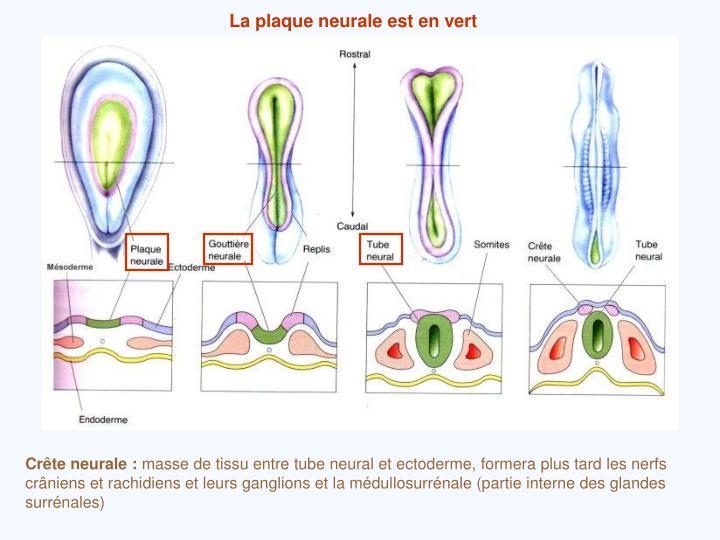 La plaque neurale est en vert