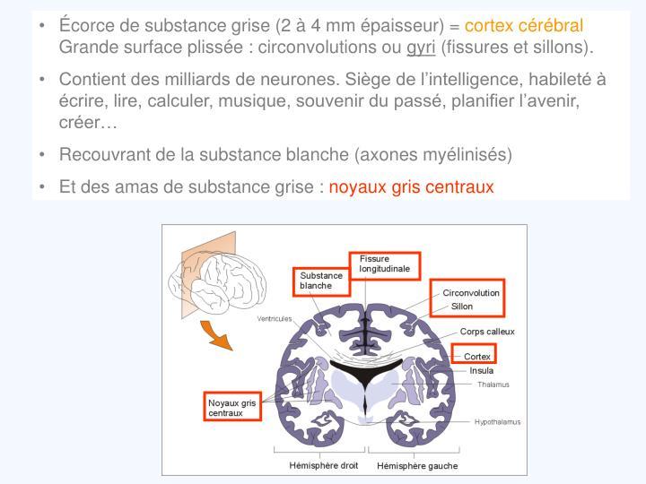 Écorce de substance grise (2 à 4 mm épaisseur) =