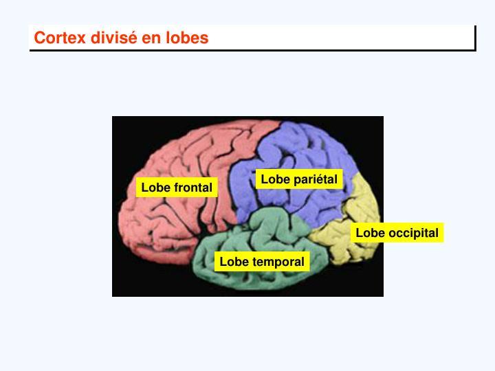 Cortex divisé en lobes