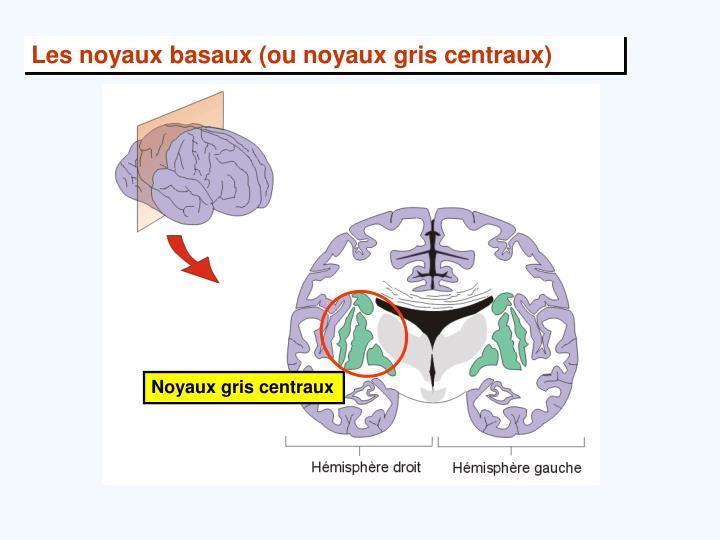 Les noyaux basaux (ou noyaux gris centraux)